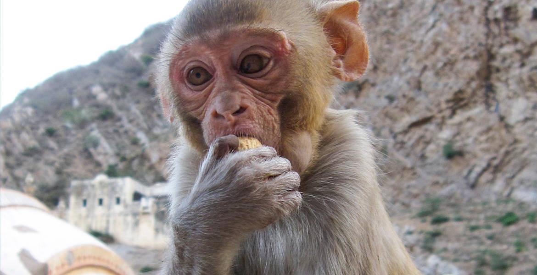 Indian Baby Monkey
