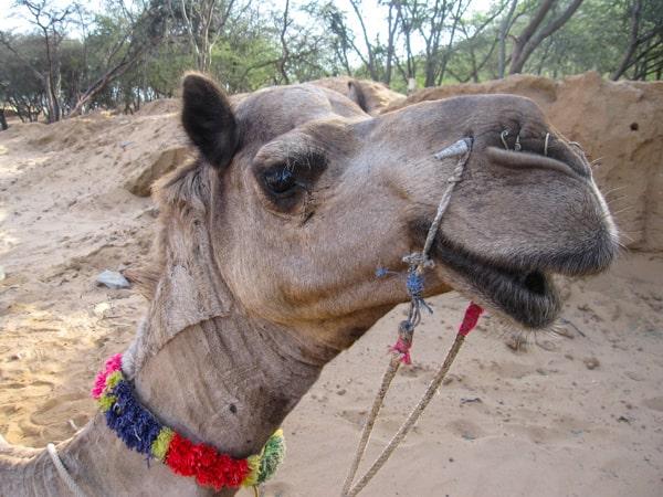 Indian Camel