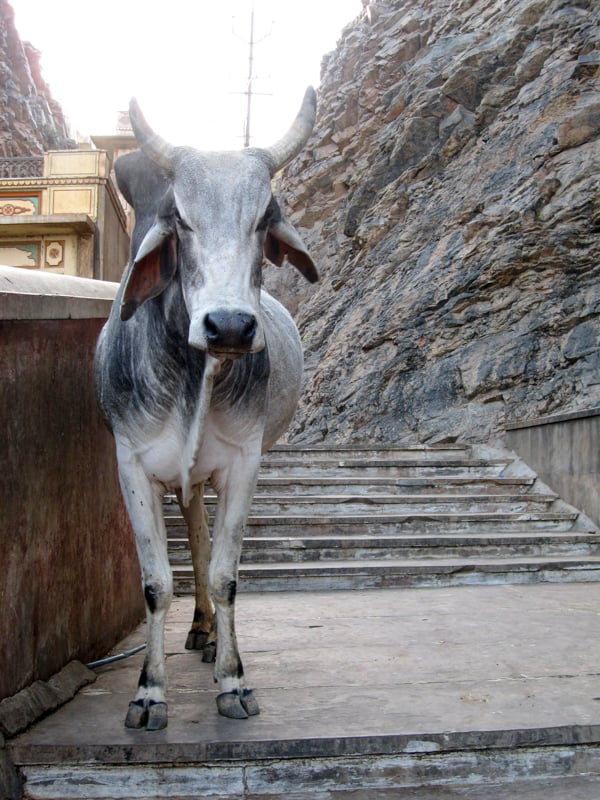 Indian Cow on Temple Steps