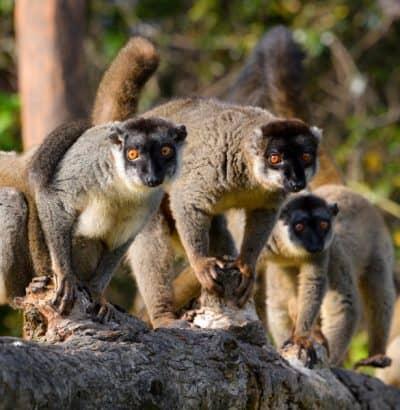 Lemur, Madagascar