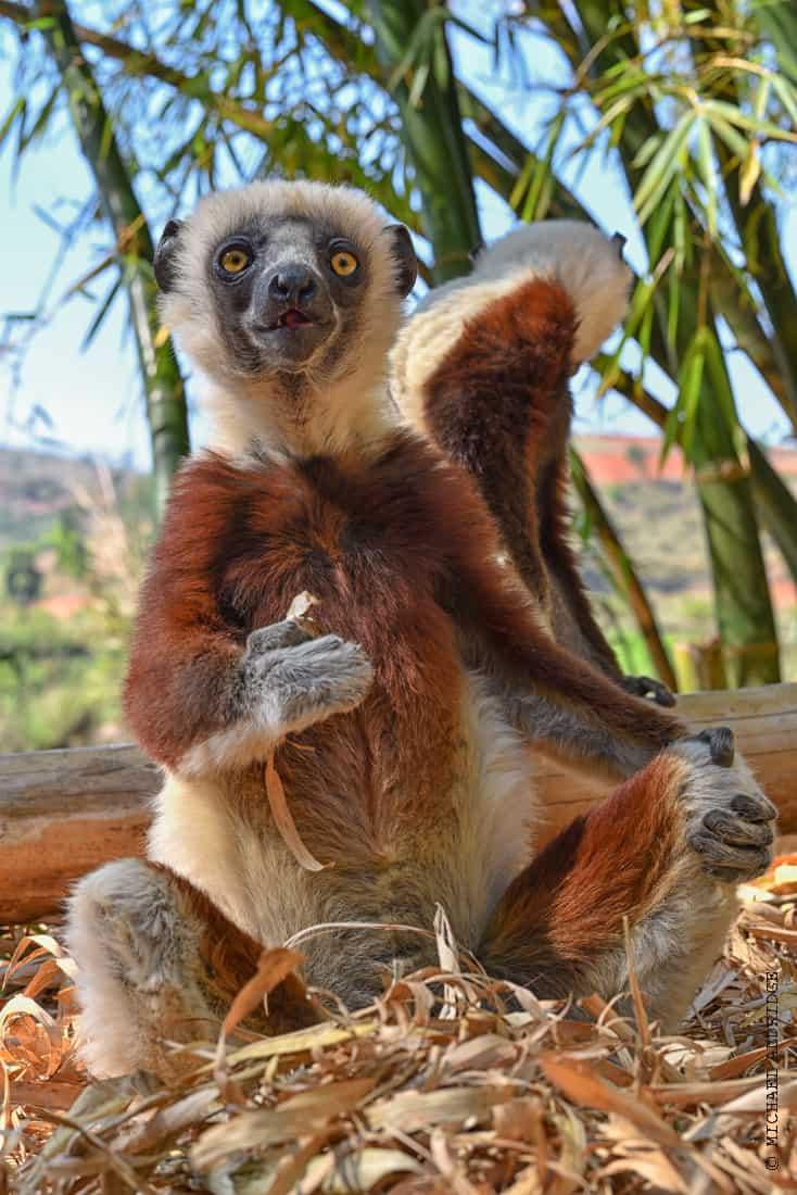 Sifaka Lemurs in Madagascar