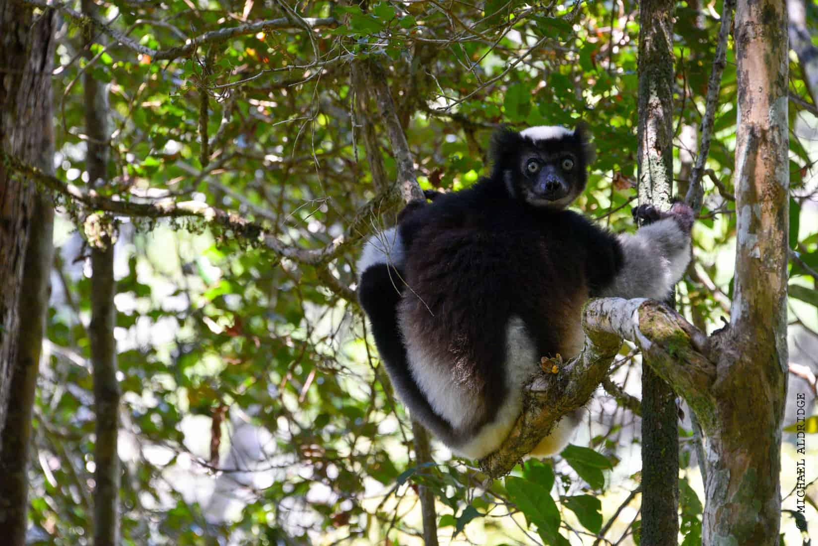 Wild Black and White Ruffed Lemur