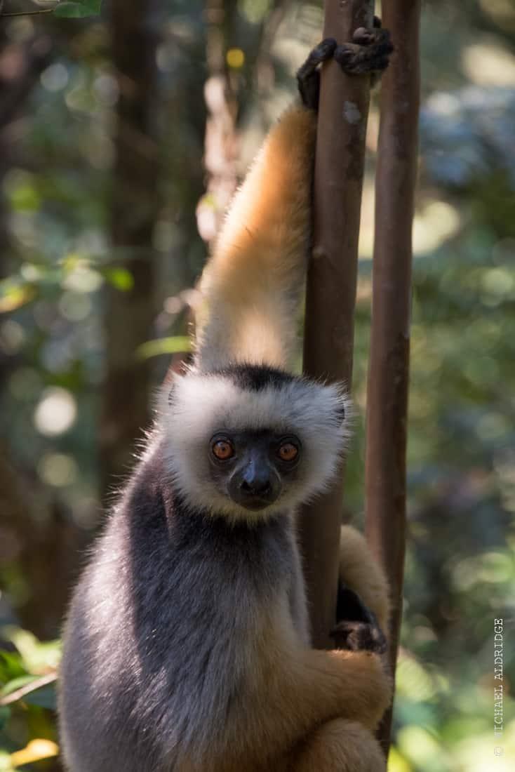 Wild Diademed Sifaka Lemur