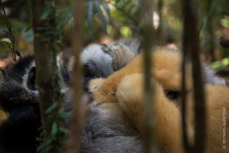 Wild Diademed Sifaka Lemur playing on the forest floor