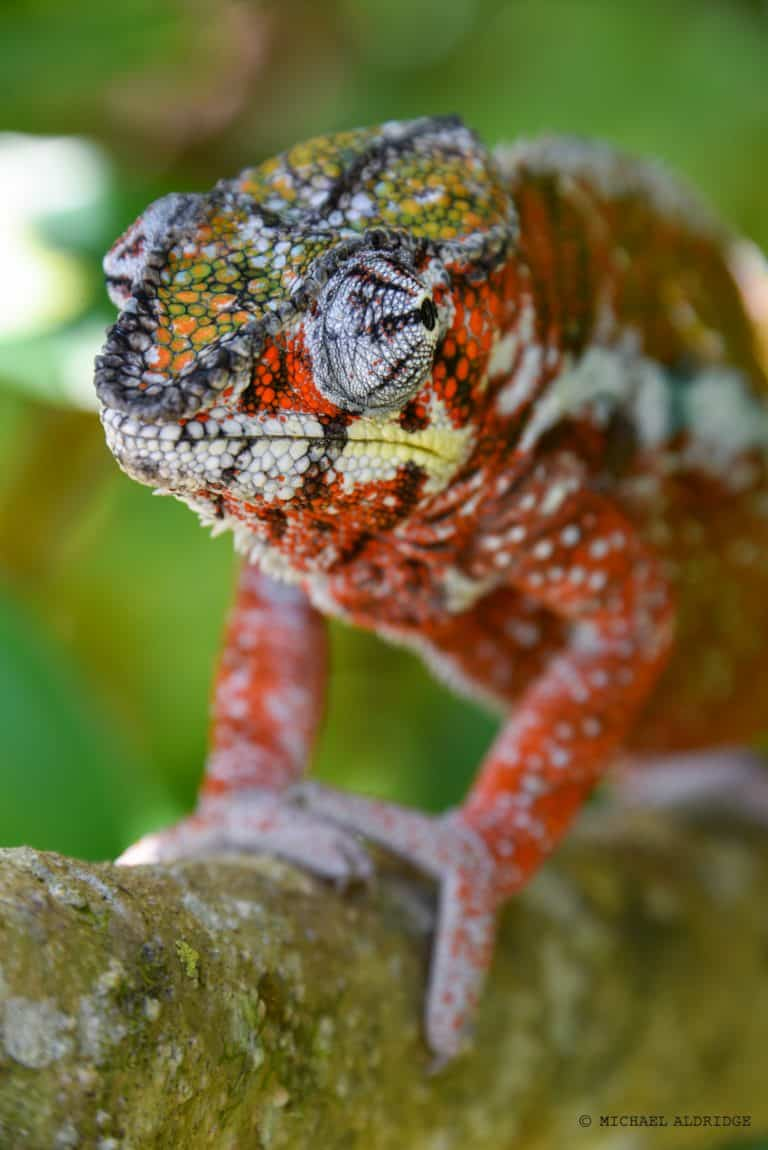 Chamenleon, Madagascar