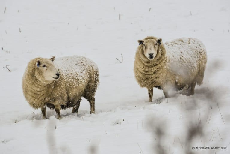 Scottish Sheep in the Snow