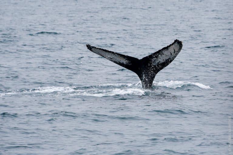 Humpback Whale in Akureyri, North Iceland