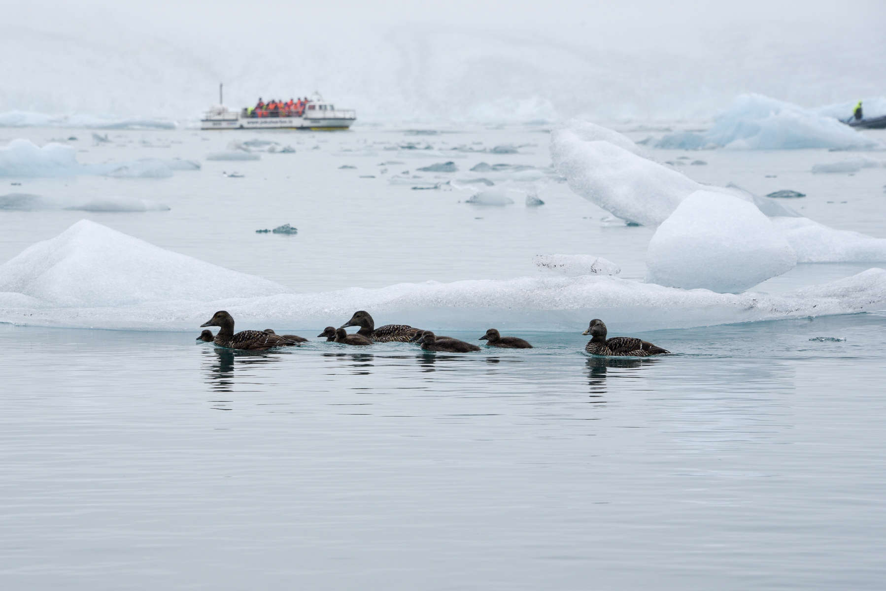 Ducks at Jökulsárlón Iceberg Lagoon, Iceland