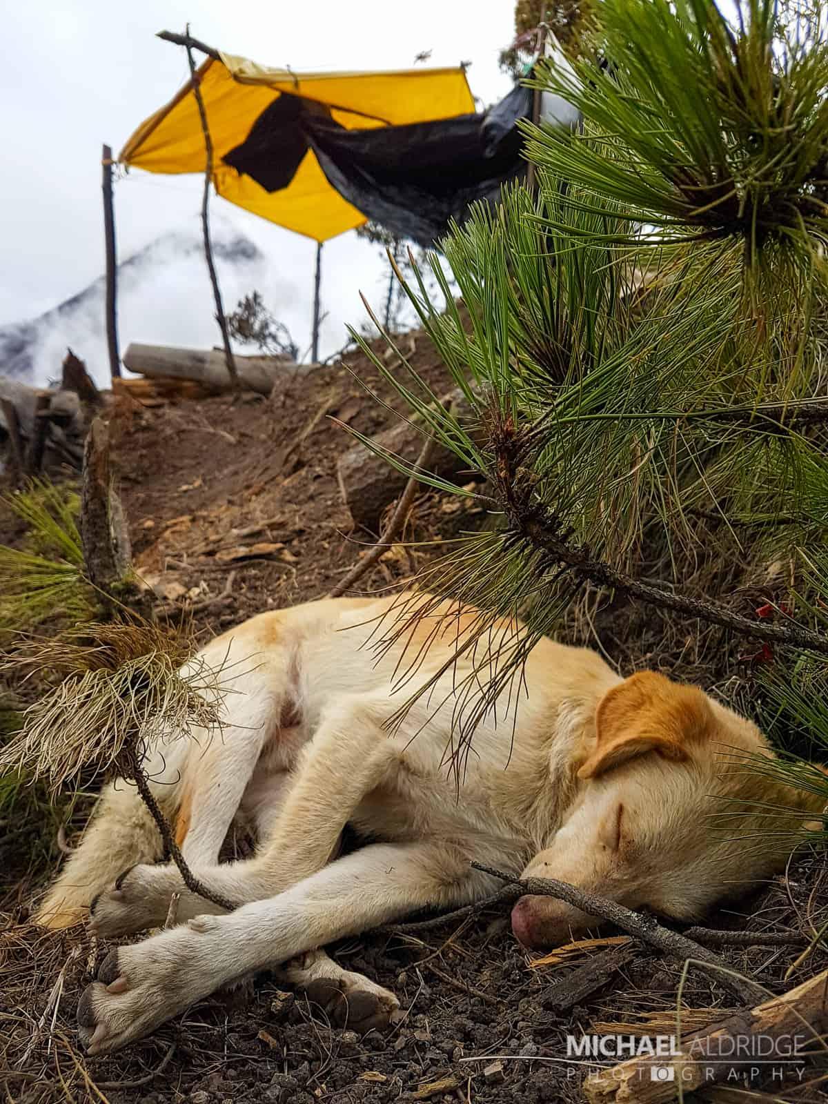 Tarzan the Volcano Dog having a nap on Acatenango