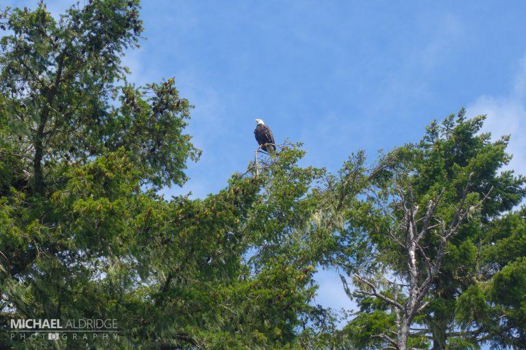 Bald Eagle, Johnston Strait