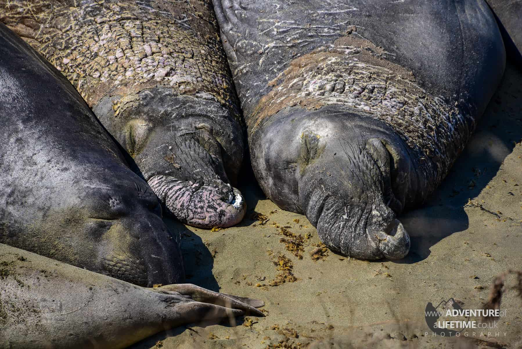 Elephant Seals close up at Big Sur