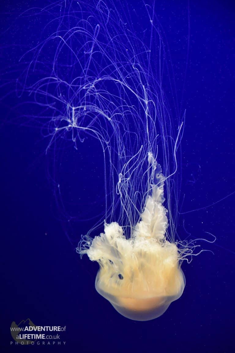 Jellyfish at Monterey Aquarium