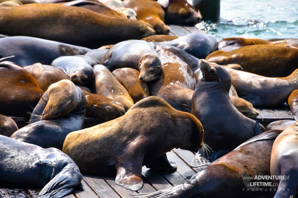 Sea Lions at Fishermans Wharf