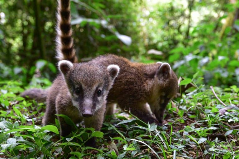 Baby Coatis at Iguassu Falls