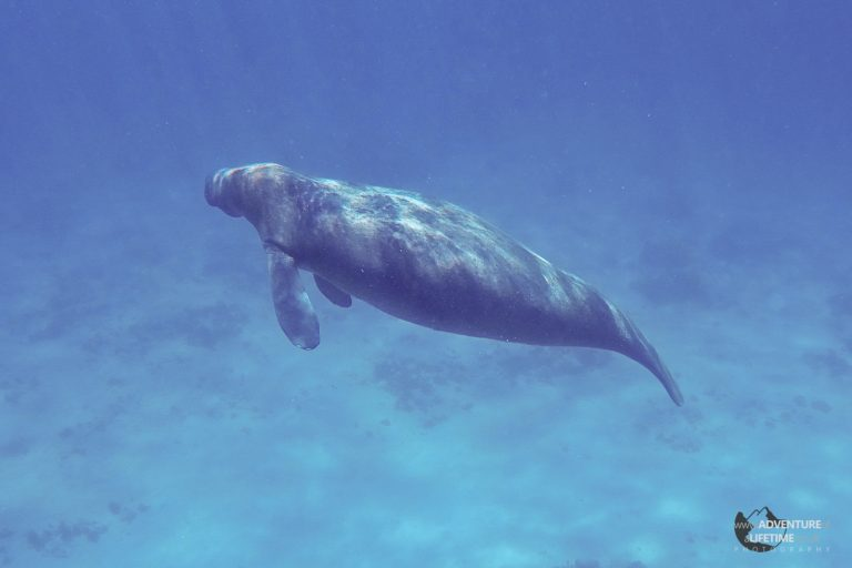 Snorkelling with a Manatee