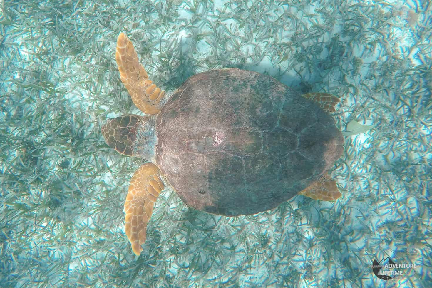 Turtle, Caye Caulker