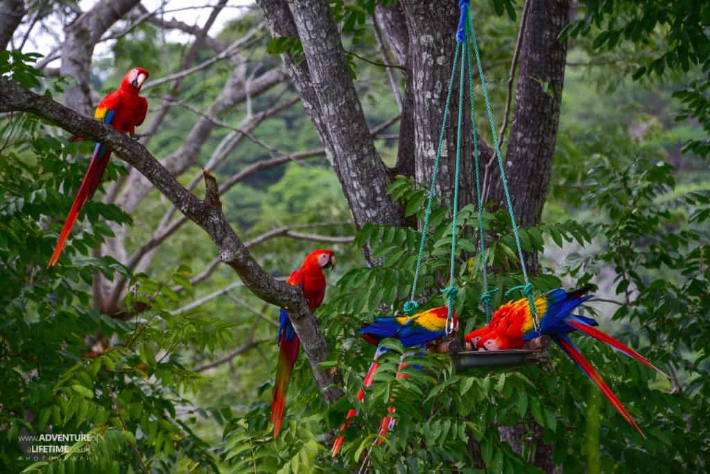 Costa Rica - Ara Project Red Macaws