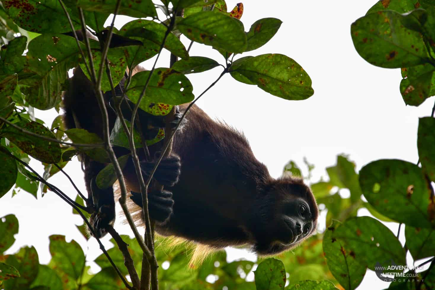 Costa Rica - Ara Project - Howler Monkey