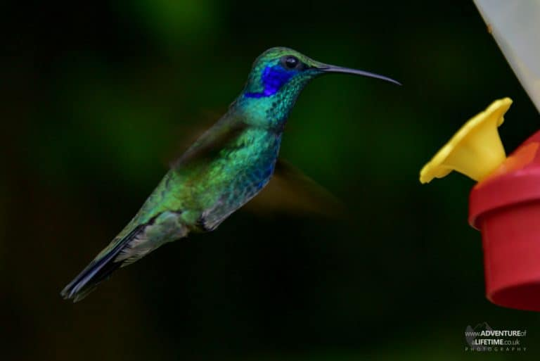 Costa Rica - Hummingbird Feeding
