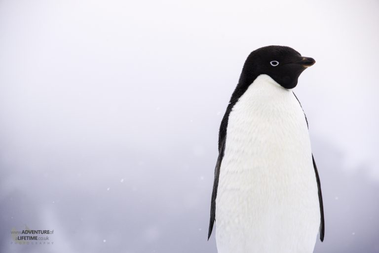 Adélie Penguin Portrait