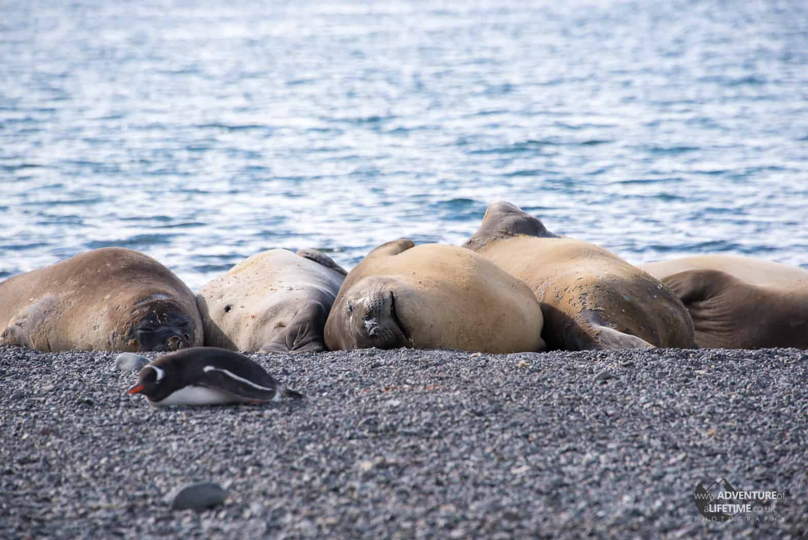 Elephant Seals and Penguin Sunbathing