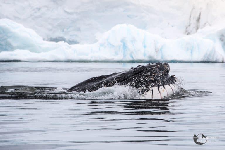 Feeding Humpback Whale, Antarctica