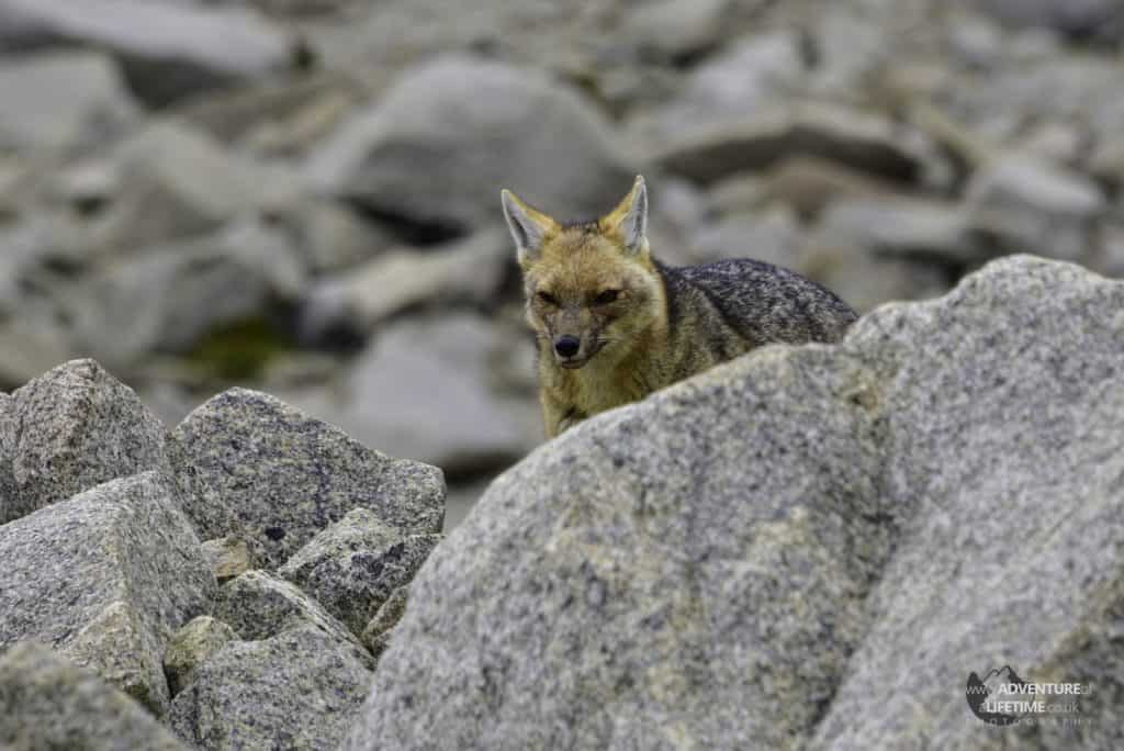 Fox at Torres del Paine