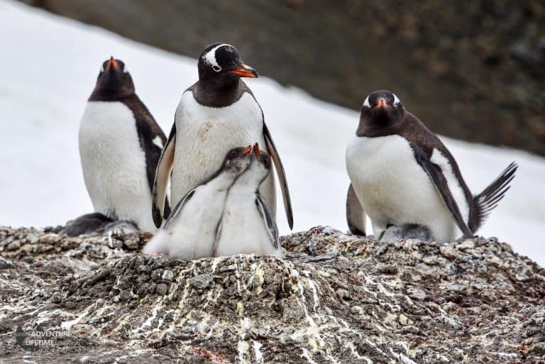Gentoo Penguin Nest with Hungry Chicks