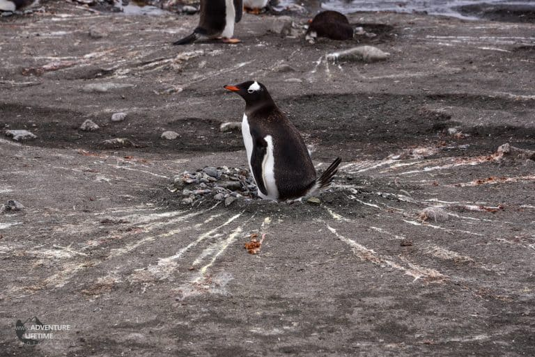 Gentoo Penguin Nest Poo Decoration