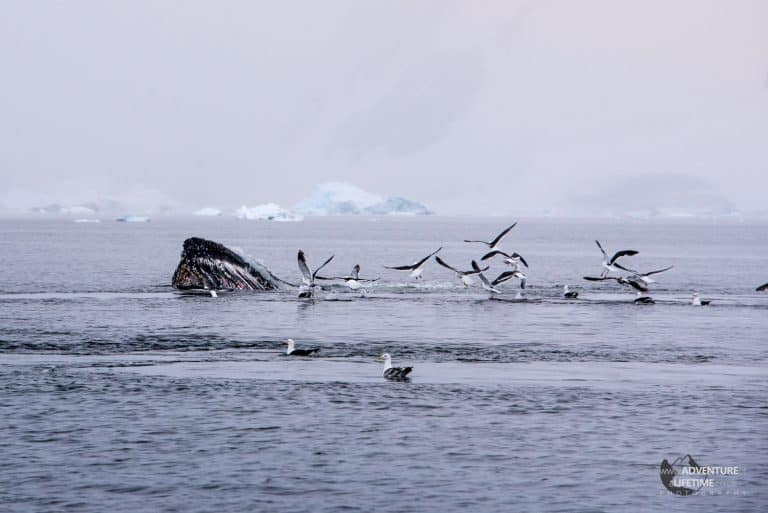Humpback Feeding with Birds
