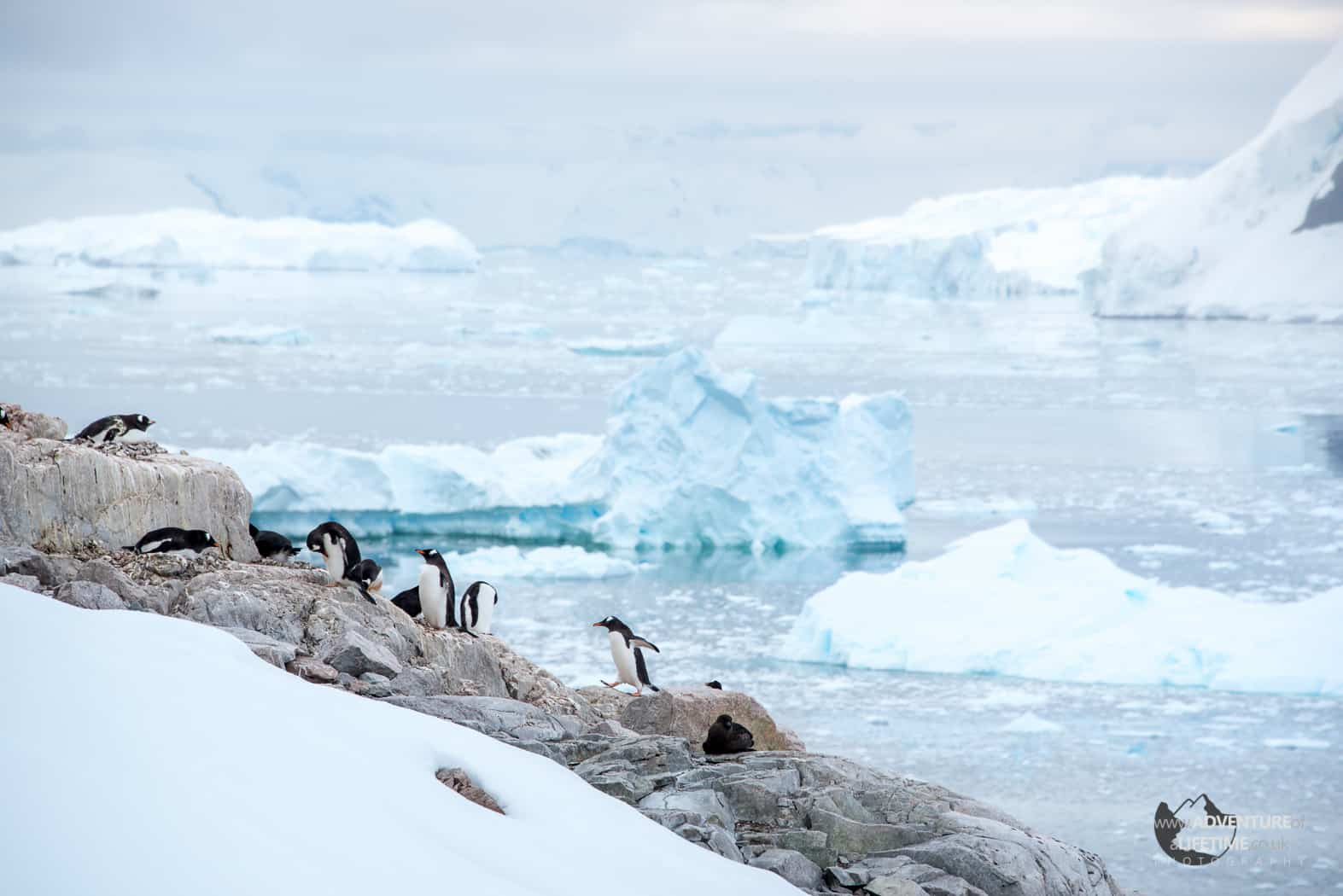 Penguin Rockery in Andvord Bay
