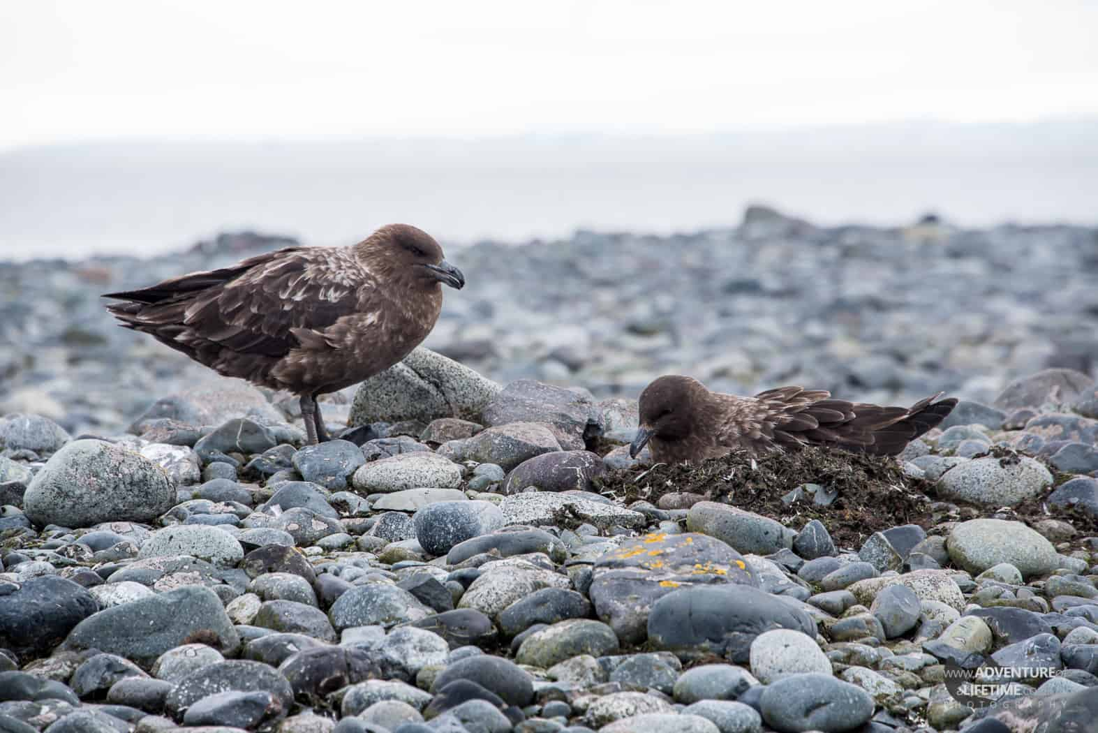 Skuas Nest on Yankee Harbour, Greenwich Island