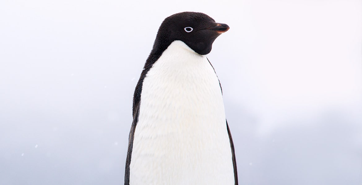 Adélie Penguin seen while travelling Antarctica