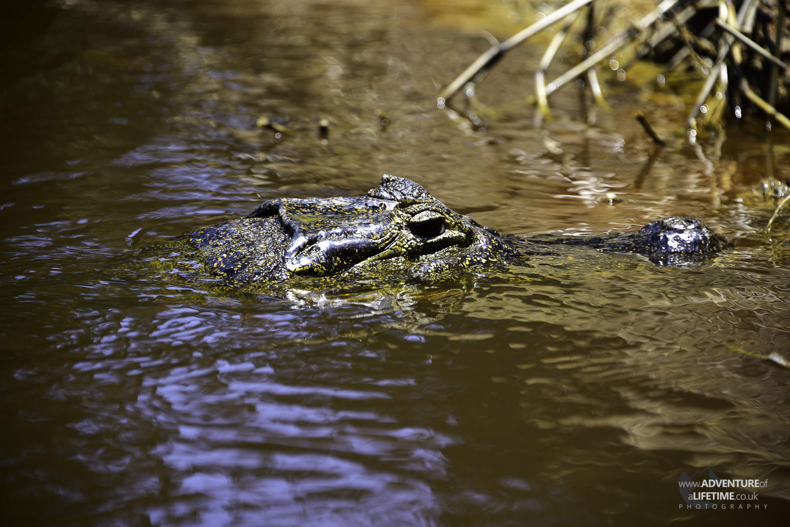 Caiman Feeding 1of4