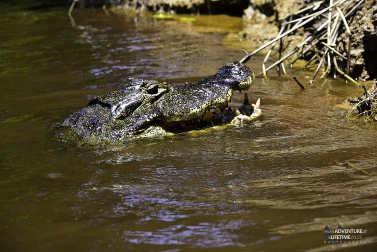 Caiman Feeding 4of4