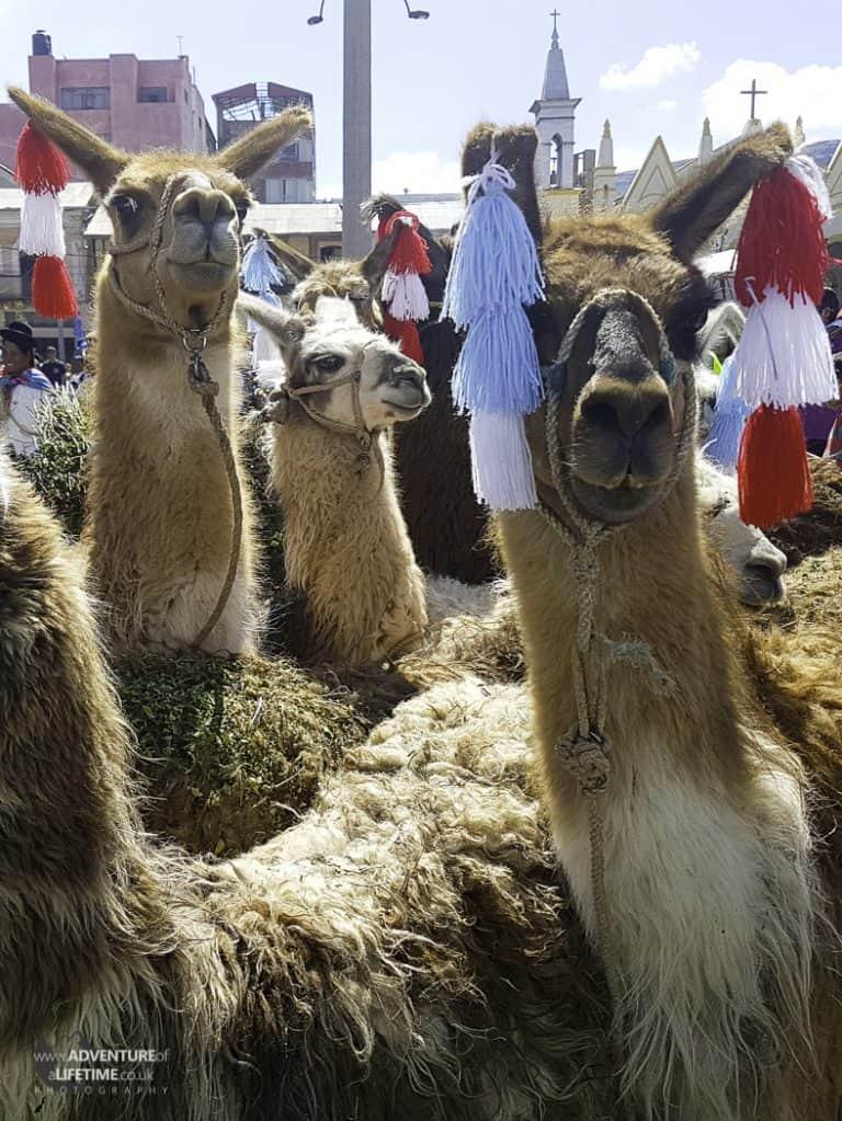 Creepy Llama