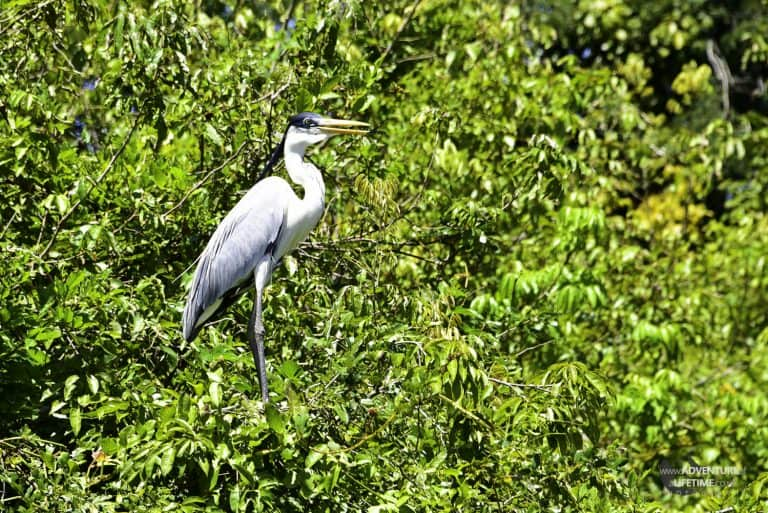 Heron in the Amazons Pampas