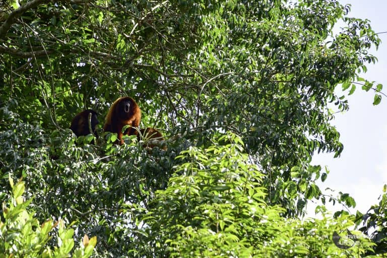 Howler Monkey in the Amazons Pampas