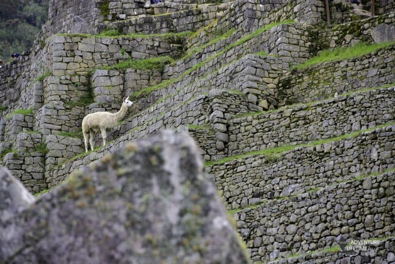 Llama climbing Machu Picchu