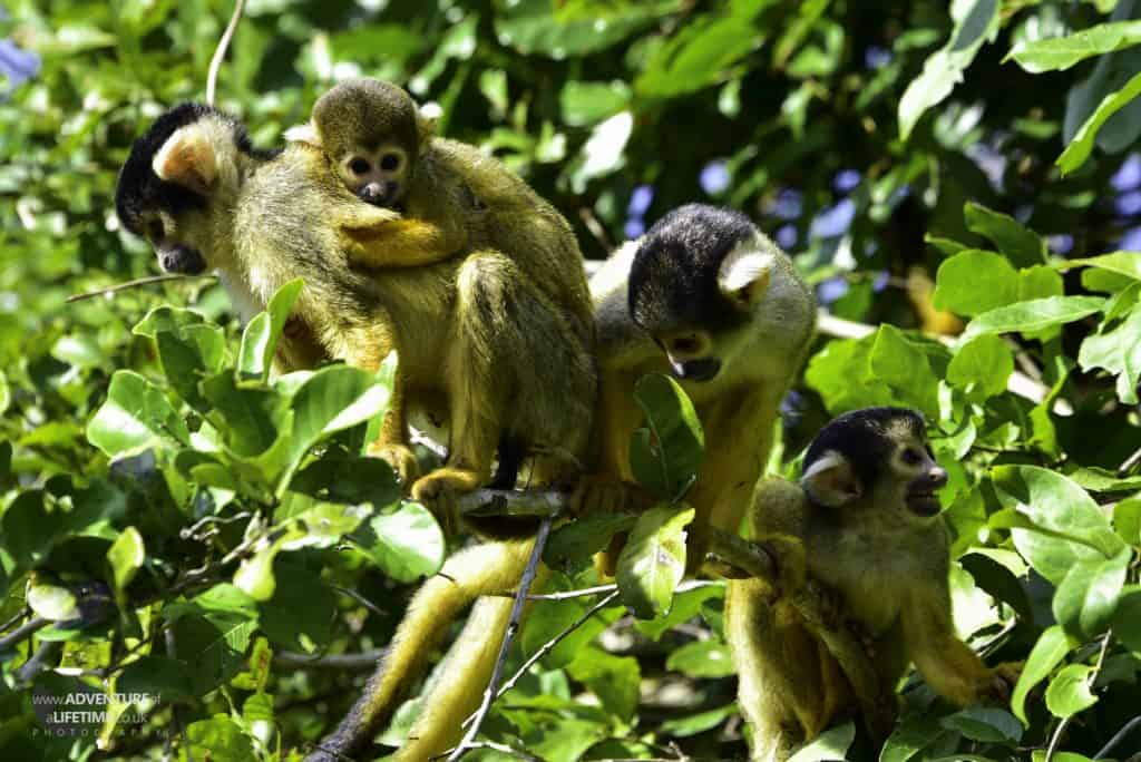 Squirrel Monkeys in the Amazon