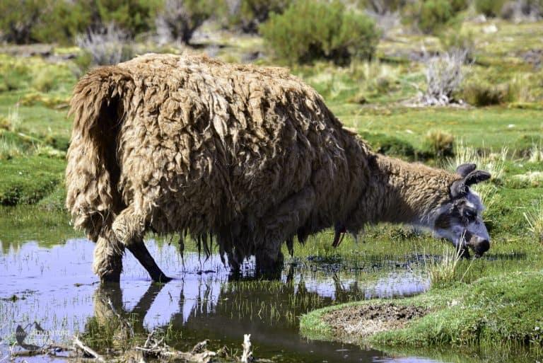 Ugly Llama