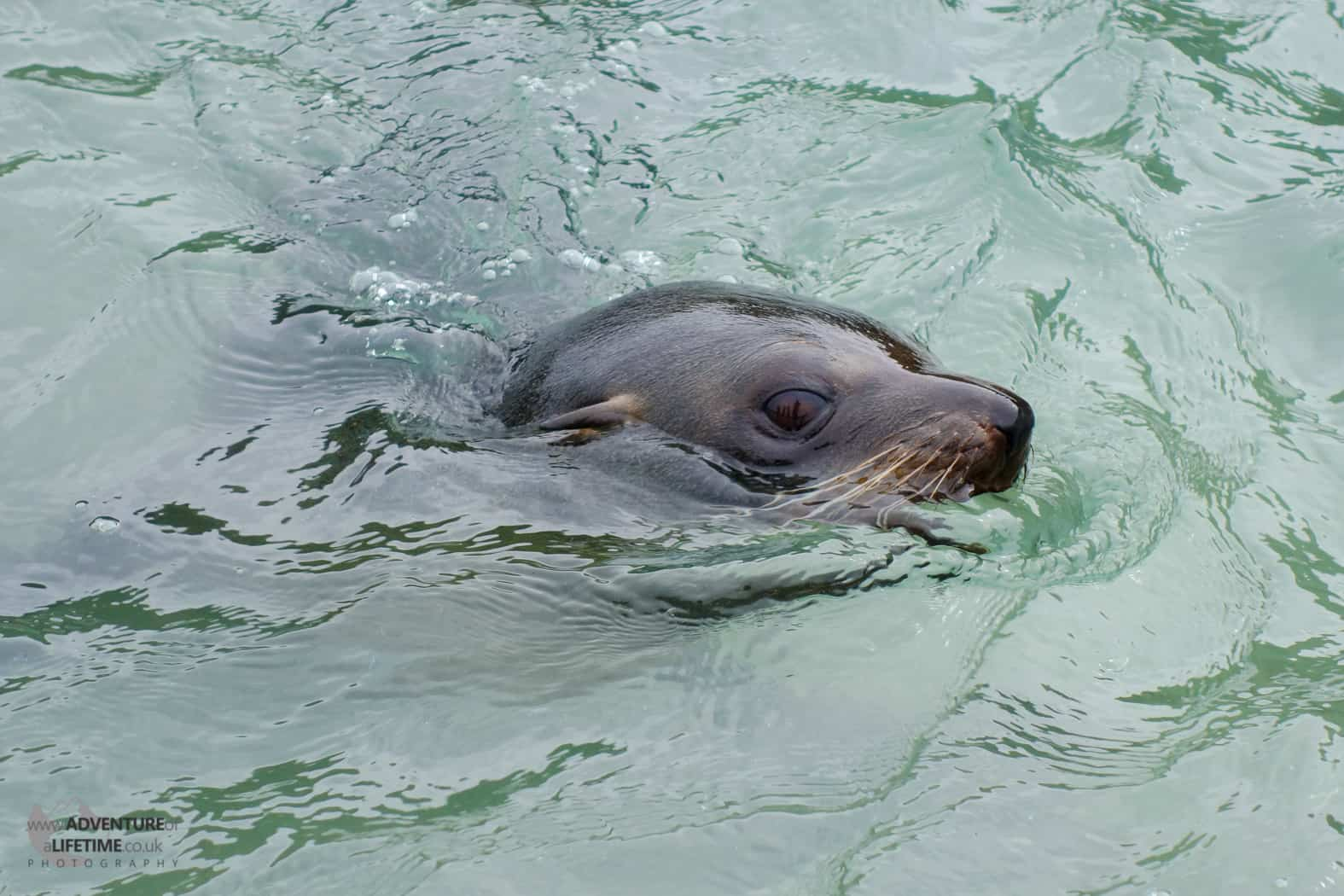 Abel Tasman Seal Mother