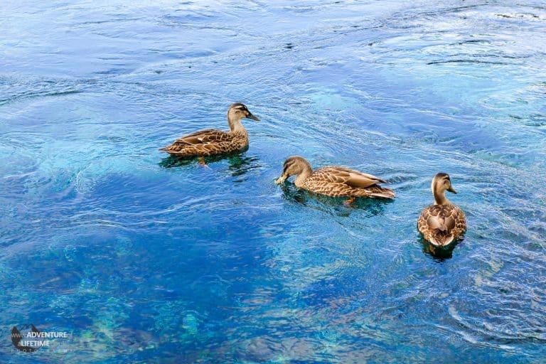 Ducks on Natural Spring