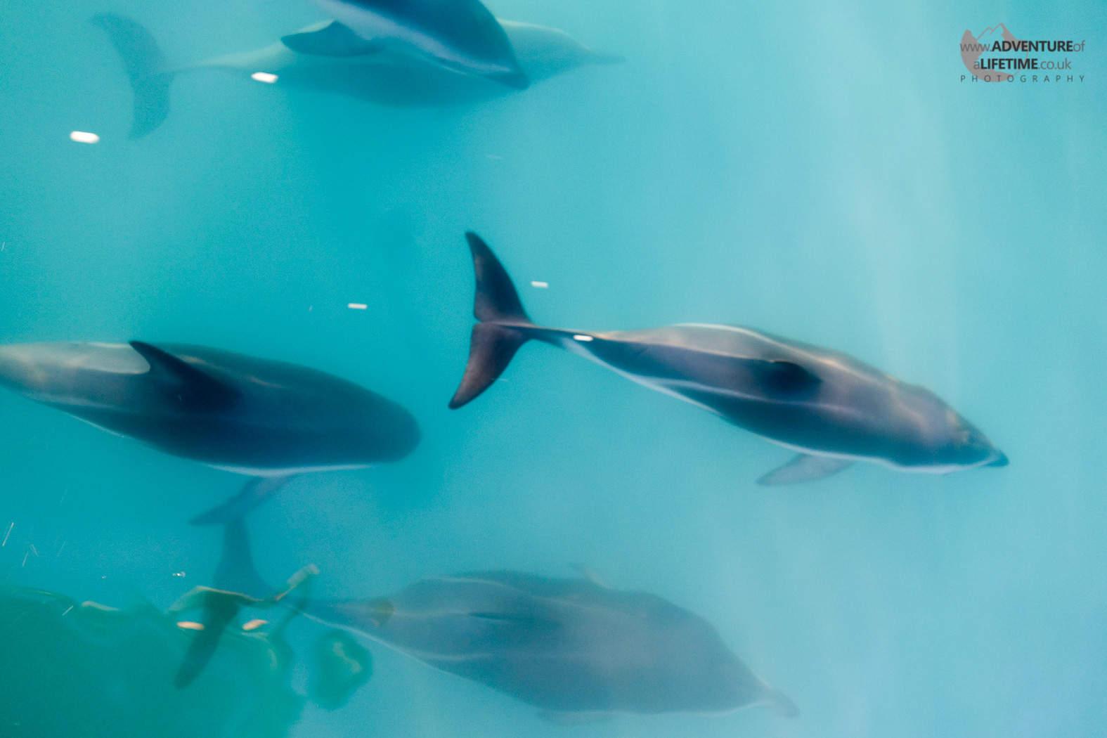 Kaikoura Dolphins