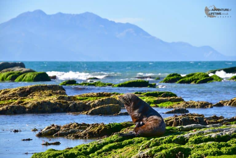 Seal at Kaikoura Peninsula