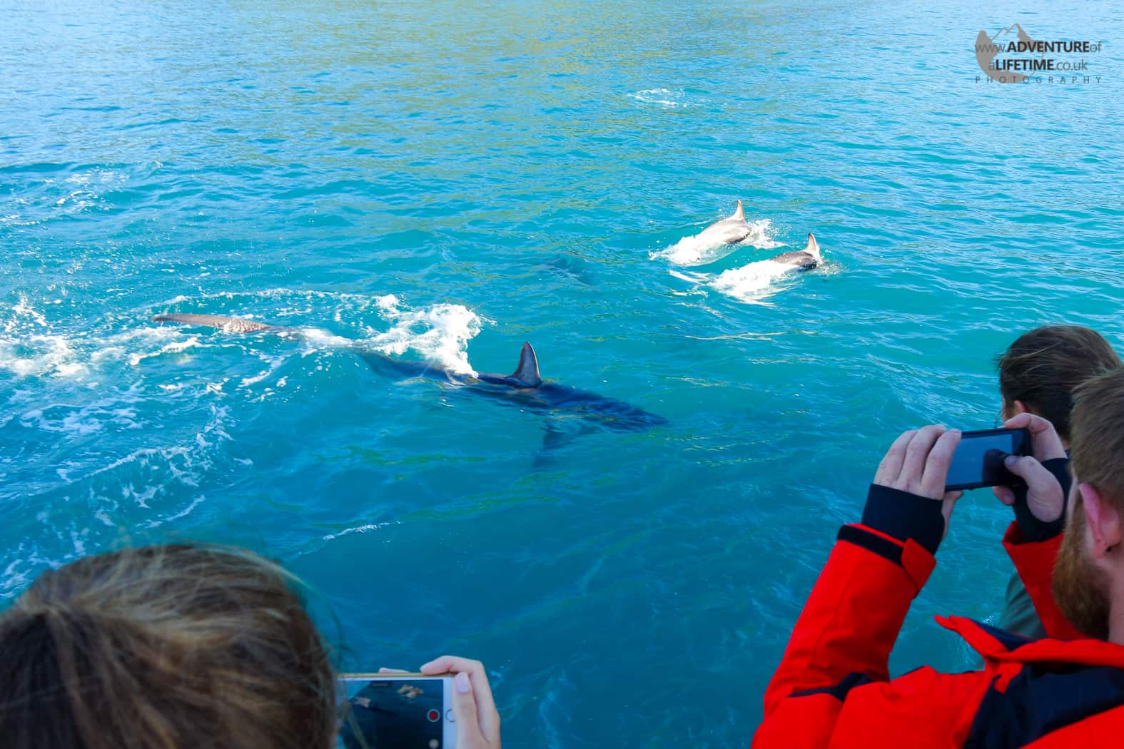 Thresher Shark and Dolphins in Kaikoura