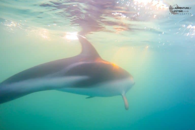 Wild Dolphin at Sunrise