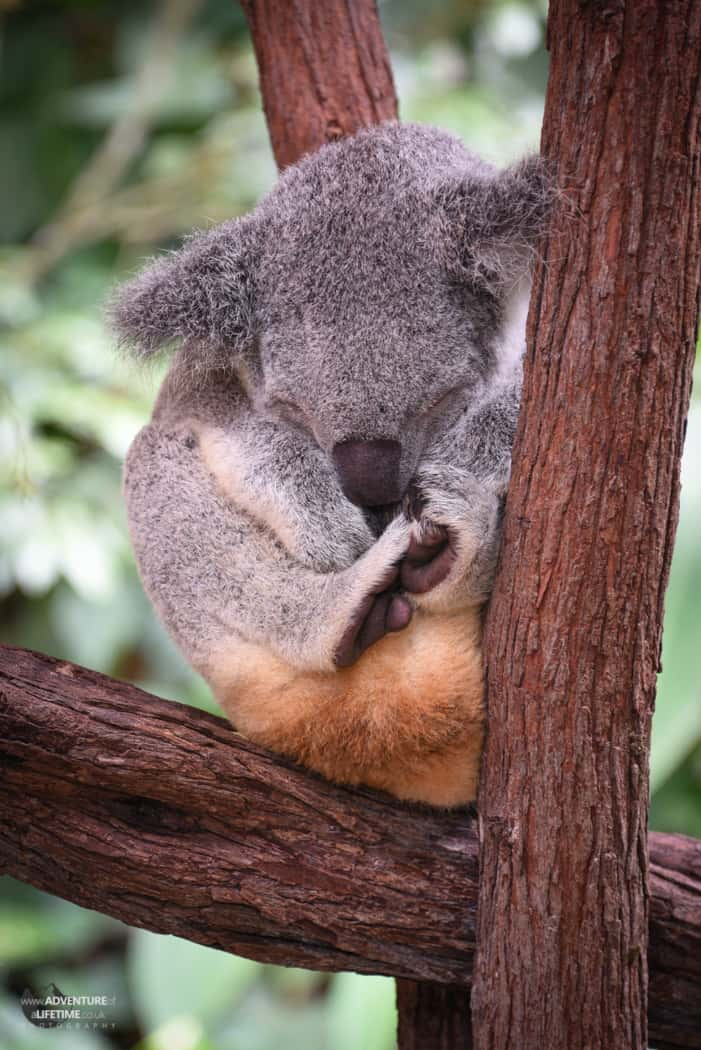 A peaceful sleeping Koala