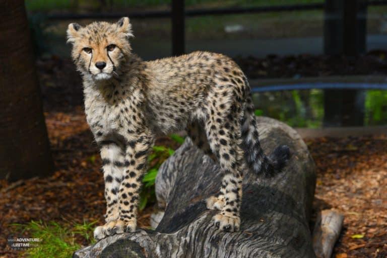 Cheetah cub at Australia Zoo