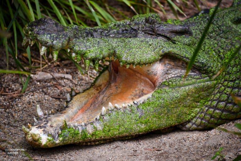 Crocodile, real or fake...
